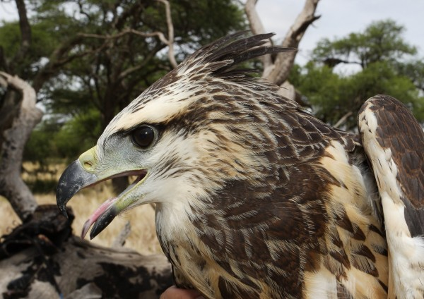 Bryan Watts holds the lost crowned eagle on the day of transmitter deployment. Photo by Bart Paxton.