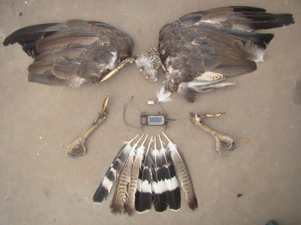 Carcass of juvenile crowned eagle recovered under power pole by Maxi Galmes and Manu Grande. Photo by Maxi Galmes.