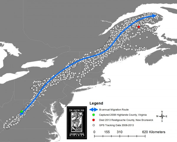 Five years of satellite tracking data in the Appalachian Mountains. The eagle was trapped in Highland County, VA and died in Restigouche County, NB. Map by CCB.