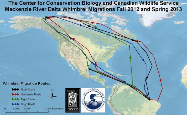 Tracking map – Map of Mackenzie River whimbrel movements July of 2012 through June of 2013. Birds have been tracked using solar-powered satellite transmitters. Map by CCB.