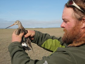 Fletcher Smith holding Hudsonian godwit on arctic breeding grounds within the Mackenzie Delta. Photo by CCB.