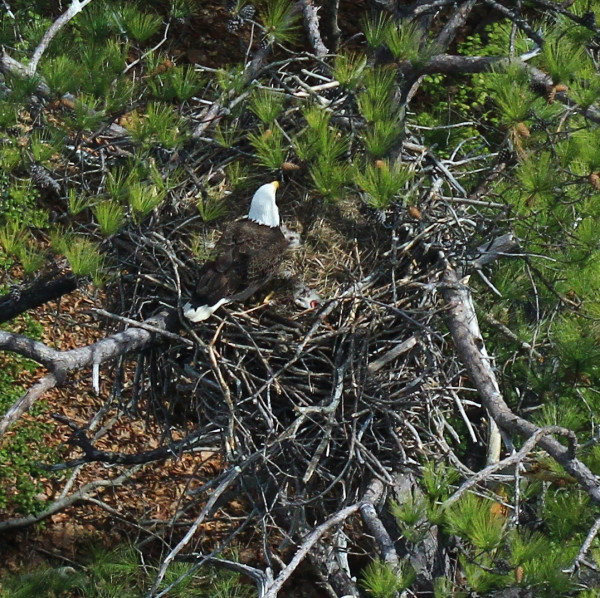 Bald eagle feeding young in a nest within Charles City County. Photo by Bryan Watts.