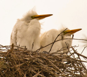 Brood of great egrets in the lower Chesapeake Bay. Photo by Bryan Watts.