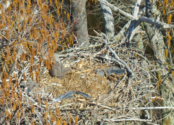 Wings of great blue heron in bald eagle nest with chicks along the Chickahominy River. Bald eagles may be altering heron colony dynamics. Photo by Bryan Watts.