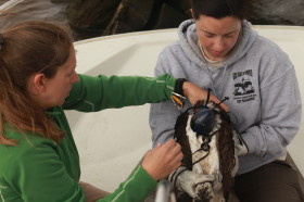 Libby Mojica (CCB) and Lauren Billodeaux (USFWS) fit a GPS transmitter to Rice the Osprey.