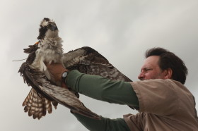 Bryan Watts holds Rice the Osprey before release