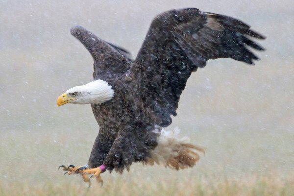 Fairlee, an eagle being tracked by CCB as part of a movement study was photographed during a snow on Aberdeen Proving Ground last Sunday (12/8/13). Photo by Bart Roberts.