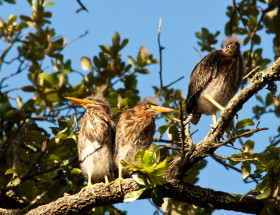 Brood of green herons just out of the nest in an urban colony in Norfolk. Green herons continue to be the most difficult species to achieve a reasonable population estimate. The species nests broadly in small groups or as single pairs. Photo by Bryan Watts.