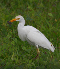 Cattle egret foraging in a field. Cattle egrets have been the biggest losers over the past 20 years with a population decline of more than 96%. This decline reflects a much larger geographic contraction in breeding range. Photo By Bart Paxton.
