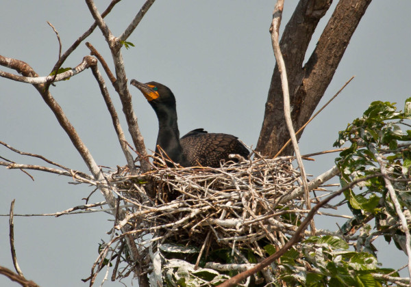 Double-crested cormorant incubating within a colony on the James River near Hopewell. This species has exploded since becoming well established in the lower Chesapeake Bay. Over the past 20 years they have been one of the big winners with a population increase of 8 fold. Photo by Bryan Watts.