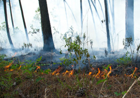 A low-intensity ground fire works its way slowly through the pine needles and other duff, killing hardwood saplings and low vegetation. Photo by Bryan Watts.