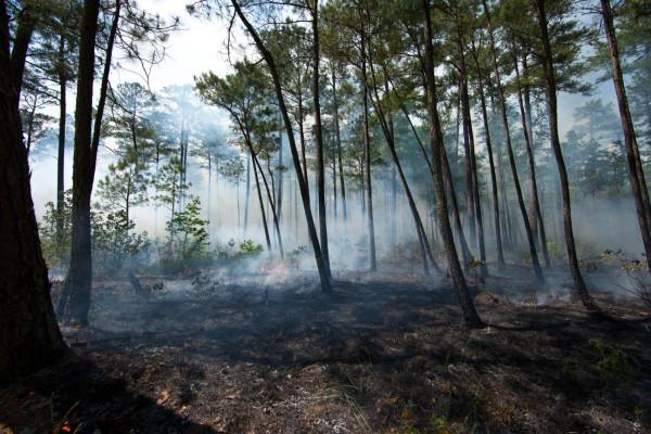 Smoke-filled pine woods on burn day. Photo by Bryan Watts.