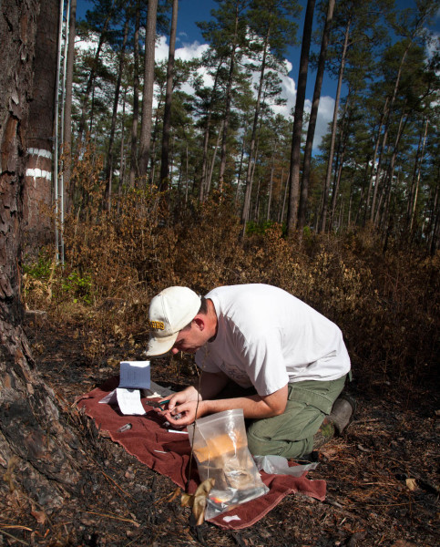 Surrounded by the charcoal of a controlled burn from just three days before, Mike Wilson bands a brood of red-cockaded woodpeckers. Photo by Bryan Watts.