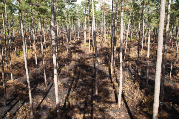 View of the open pine savannah from a nest cavity of the red-cockaded woodpecker just three days after a controlled burn. Photo by Bryan Watts.
