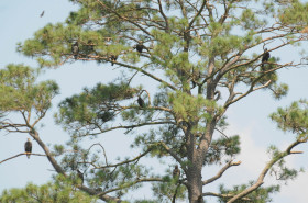 A group of mixed-age class eagles roosting in trees in North Carolina. Photo by Reese Lukei, Jr.