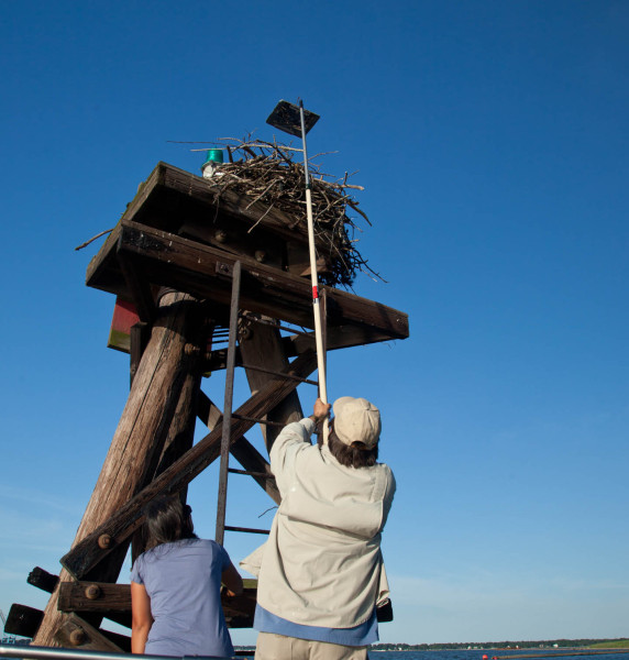 Bryan Watts (r) from CCB and Casey Shaw (l) from the Elizabeth River Project use an extendable mirror pole to check an osprey brood along the Elizabeth River. Photo by Marian Watts.