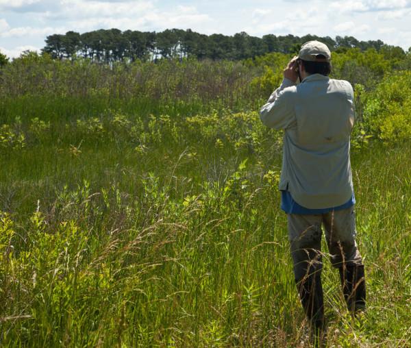 Bryan Watts surveys for Coastal Plain Swamp Sparrows along the Rappahannock River in Virginia. Photo by Marian Watts.