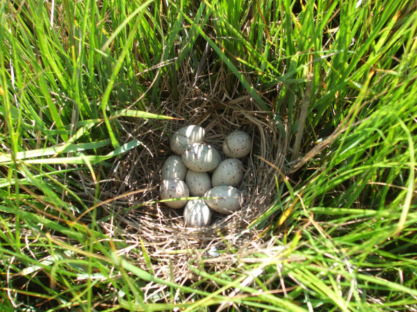 Clapper rail nest in high marsh of the Chesapeake Bay. Photo by Daniel Poulton.