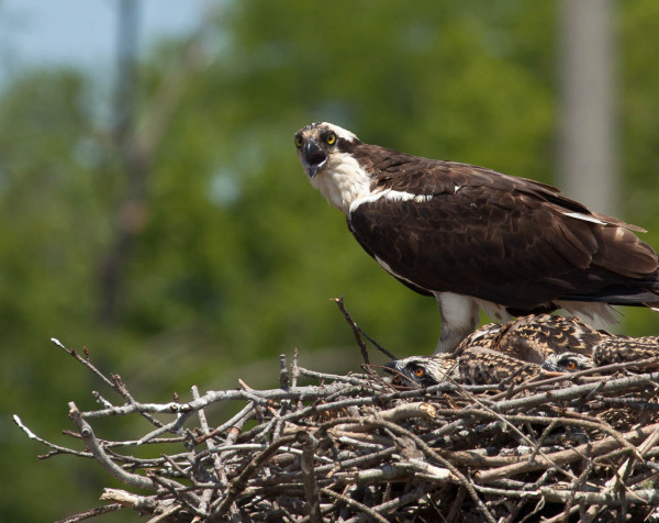 Female osprey at the bridge at cat point. 3 chicks in the 5-week range. Photo by Bryan Watts.