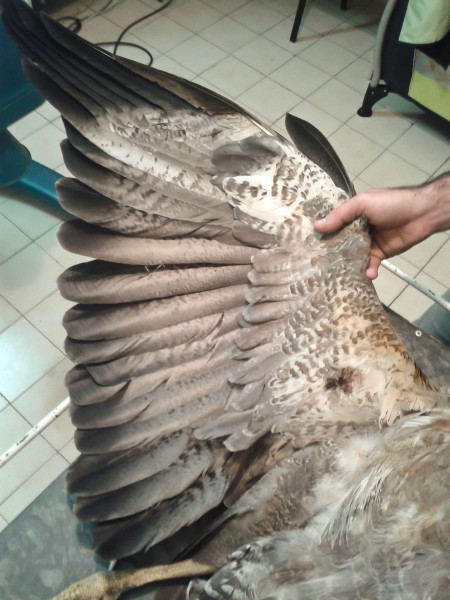 Gunshot wound on wing of downed eagle. Photo by Maxi Galmes.