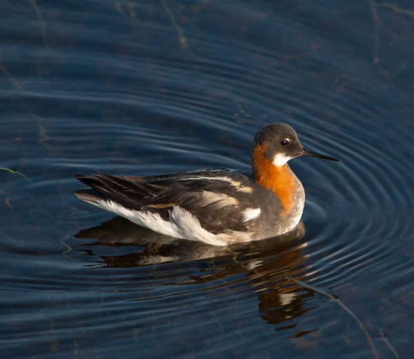 Male red-necked phalarope in breeding plumage.  The red-necked phalarope is one of the most common breeding shorebirds within the Mackenzie Delta study area. Photo by Fletcher Smith.