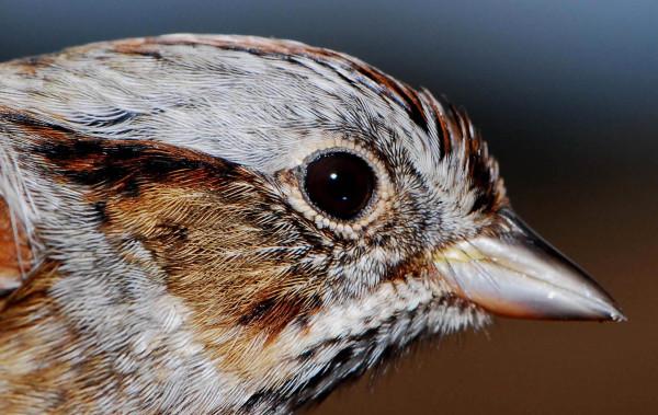 Swamp sparrow. Photo by Bryan Watts.