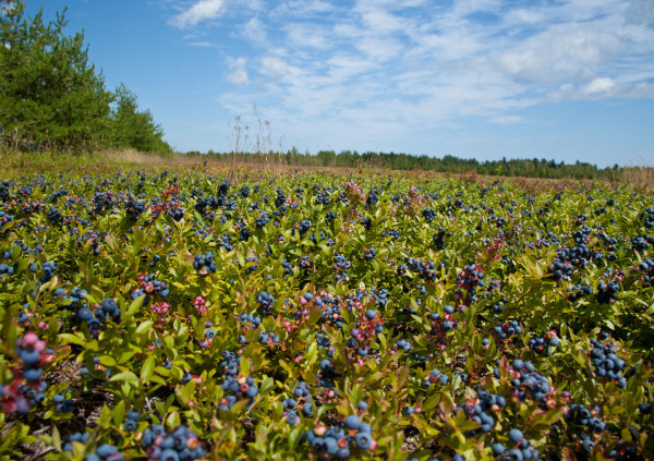 Blueberry yield on the Acadian Peninsula is tremendous varying from 2,000 to 8,000 pounds per acre.  Photo by Bryan Watts.