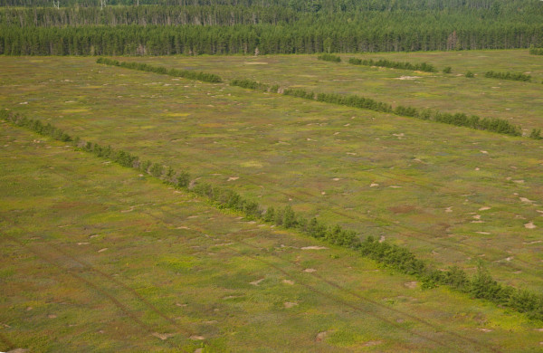 Blueberry field on the Acadian Peninsula.  The lines of trees are planted for snow breaks to protect plants and to help with bee pollination.  Photo by Bryan Watts.