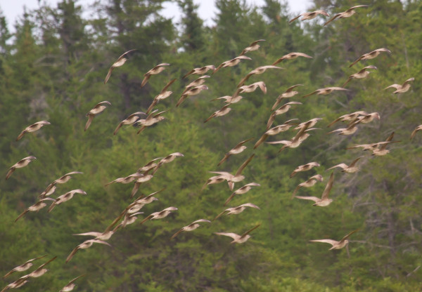 A flock of whimbrels being escorted from a berry field on the Acadian Peninsula.  Photo by Bryan Watts.
