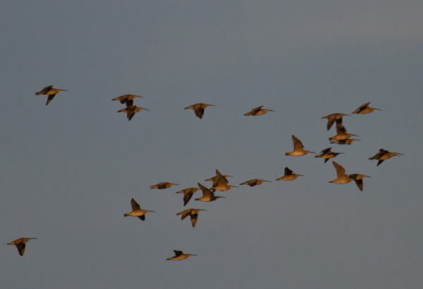 A flock of whimbrels arrives over the tree line to a blueberry field just after dawn.  Photo by Bryan Watts.