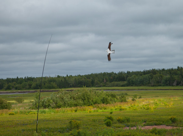 Osprey kite tethered over blueberry field.  Raptor kites, flying balloons and other devices were used in the majority of blueberry fields.  Photo by Bryan Watts.