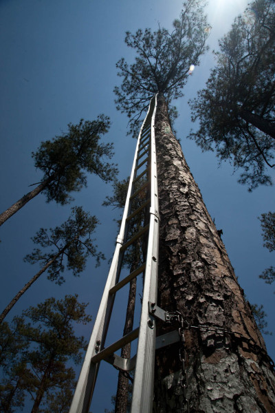 Swedish climbing ladders erected on cavity tree in Piney Grove Preserve. These ladders are standard field equipment used in woodpecker banding. Photo by Bryan Watts.