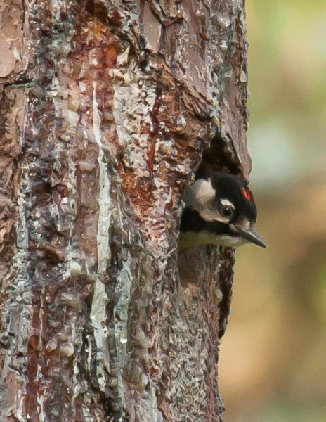 Woodpecker nestling within a day of fledging peers out cavity entrance. The red cockade signifies a male and is only present for a short period after fledging. Photo by Bryan Watts.