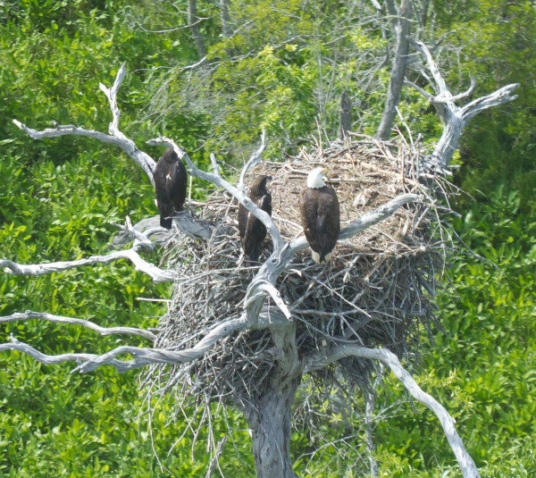 An adult bald eagle hangs out near the nest with two 10-wk old chicks along the James River. Photo by Bryan Watts.