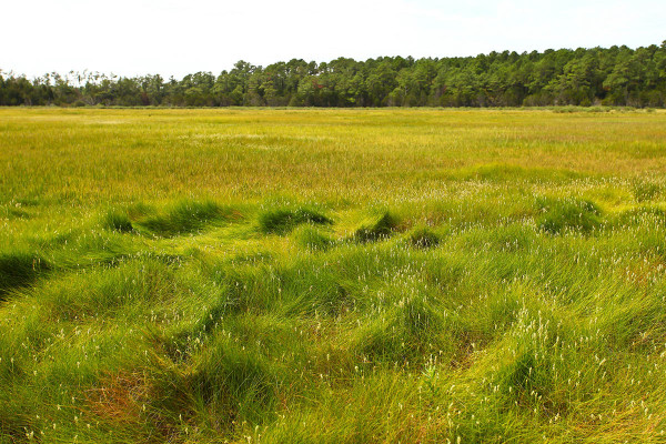 Typical high-marsh habitat used by eastern black rails during the breeding season within the mid-Atlantic region. Photo by Bryan Watts.
