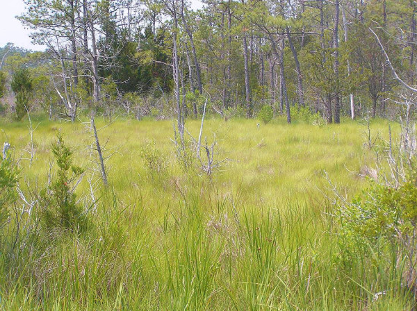 Transition zone between the high marsh and upland. Black rails often breed within 100m of the tree line in marshes dominated by salt meadow hay that is often interspersed with shrubs, stunted pine trees, and red cedars. Photo by Fletcher Smith.