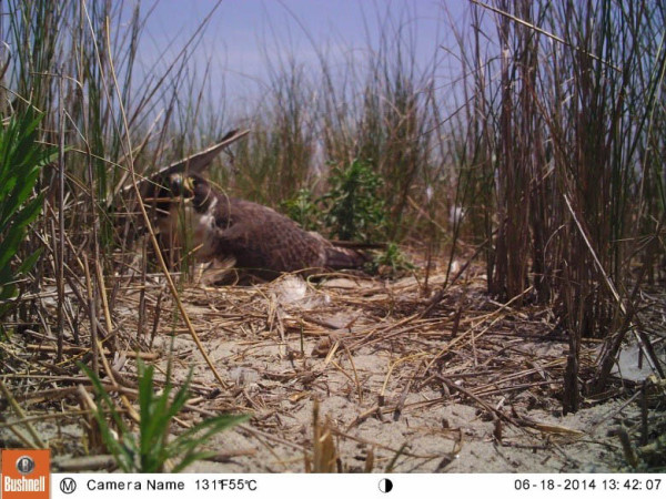 A ground nesting falcon on Cedar Island broods 2 chicks shortly before nest failure from extreme summer temperatures. Photo by CCB.