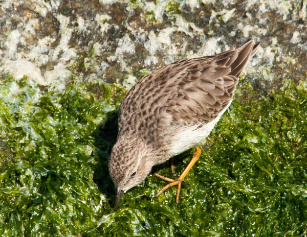 A least sandpiper, one of the other four species detected during the survey, forages within the algae zone of the rocks. Photo by Bryan Watts.
