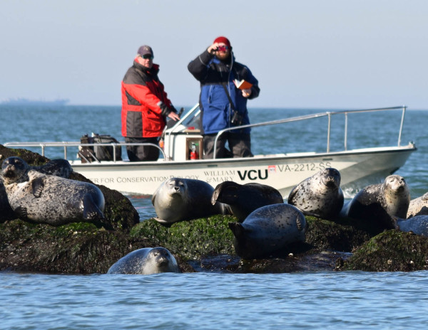 Grey seals lounge on the rocks as Bart Paxton (left) and Fletcher Smith (right) survey for shorebirds along a rock island of the Chesapeake Bay Bridge Tunnel. Photo by Brian Lockwood.