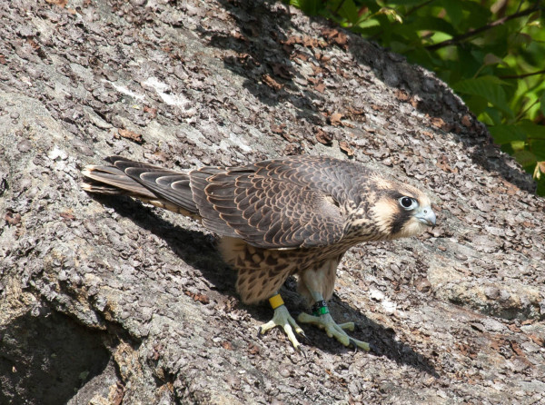 Juvenile Peregrine Falcon from the Berkley Bridge recently released from the hack box at Shenandoah National Park. Photo by Bryan Watts.