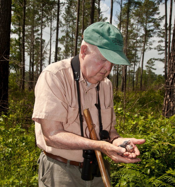 Mitchell Byrd examines woodpecker brood within the Piney Grove Preserve. Mitchell conducted the first comprehensive work with the Virginia population in 1977. Photo by Bryan Watts.