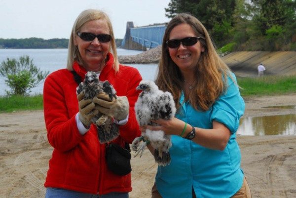 Teresa Tabulenas (VDOT, left) and Libby Mojica (CCB, right) banded two falcon chicks they extracted from the Norris Bridge. Photo Tom Chillemi, Sentinel.