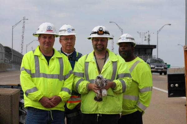 The VDOT bridge team coordinated accessing the falcon nest on the Berkley Bridge on I-264 in Norfolk. From left to right: Robert Hewitt, Tom Mansfield, Dave Kurtich, Kip Holloway. Photo by Libby Mojica.