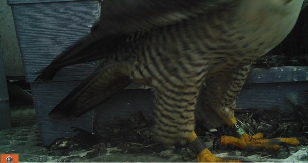 The adult female at the Silver Beach Range Tower nest was identified with a game camera mounted at the nest entrance. The black band on her right leg indicates she's from New Jersey and the black 56 over green Y provided us with her unique band code. Photo by CCB.