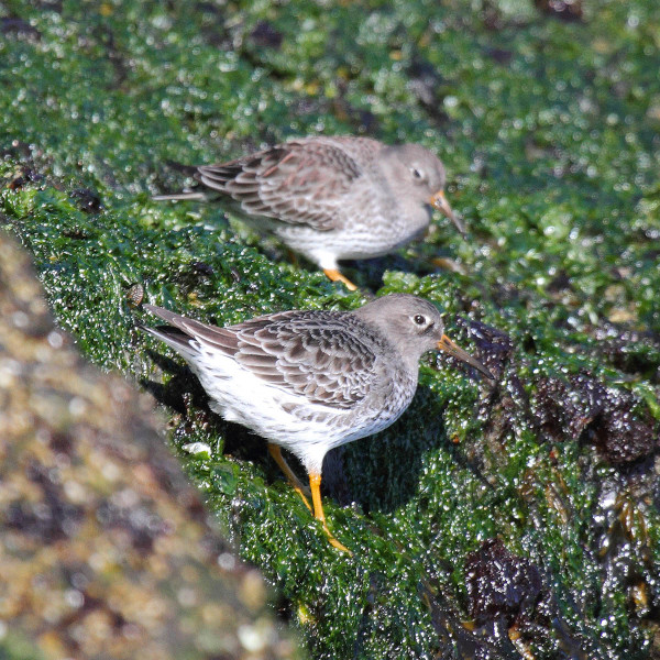 Two purple sandpipers foraging within the intertidal algae on rocks of the Chesapeake Bay Bridge Tunnel Island. Photo by Bart Paxton.