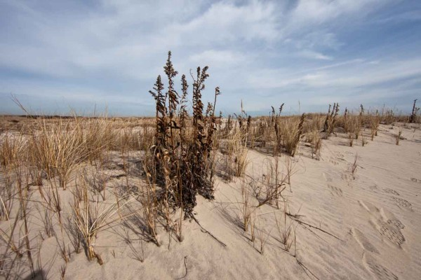 Seaside goldenrod and beach grass along a dune represent ideal habitat for Ipswich sparrows on Metompkin Island. Photo by Bryan Watts.