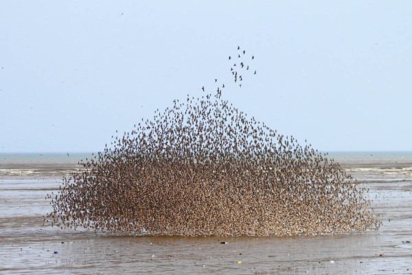 An amazing shorebird dome forms over the mudflats in the Bay of Panama. Comprised of western sandpipers, the small plume of birds above is mostly short-billed dowitchers, illustrating the birds' common tendency to size-segregate. Photo by Bart Paxton.
