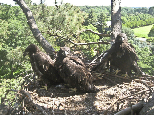 Photo of HE (right), HH (middle) and HK (left) in nest on day of transmitter fitting. Photo by Nuckols Tree Care. Photo by Nuckols Tree Care.