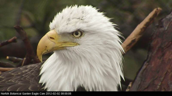Photo of adult male eagle from Norfolk Botanical Garden illustrating black inclusion in left iris. Photo from nest cam by Reese Luk