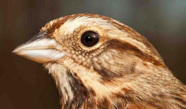 Song Sparrow. Photo by Bryan Watts.